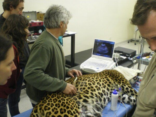 Il Dott. Assin mentre esegue l'ecografia ad una leopardessa